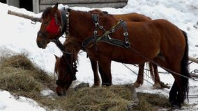 Two beautiful brown horses are eating hay. The action at winter season stock video