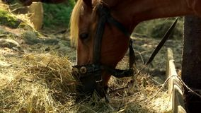 Two beautiful brown horses are eating hay. stock footage