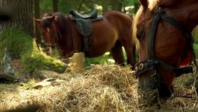 Two beautiful brown horses are eating hay. Close up stock video