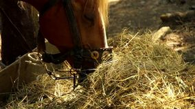 Two beautiful brown horses are eating hay. Close up stock footage