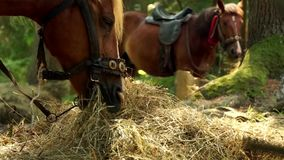 Two beautiful brown horses are eating hay. stock video footage