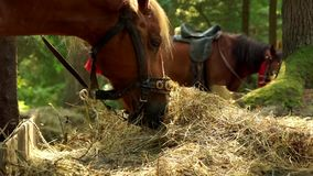 Two beautiful brown horses are eating hay. Close up stock video footage