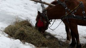 Two beautiful brown horses are eating hay. Close up shot of face. Two beautiful brown horses are eating hay. The action at winter season stock footage