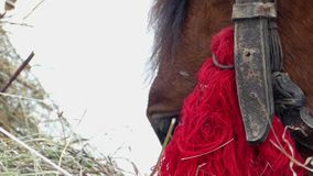 Two beautiful brown horses are eating hay. Close up shot of face. Two beautiful brown horses are eating hay. The action at winter season stock video footage