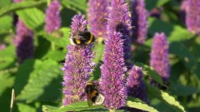 Two beautiful bumblebee on blossoming anise hyssop flowers stock video