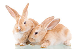 Free Two Beautiful Bunnies Royalty Free Stock Photo - 13615195