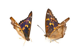 Two beautiful butterfly Stock Image