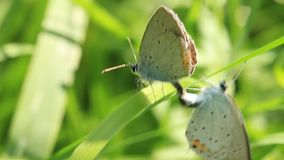 Two beautiful butterfly making sex. Two beautiful butterfly on green leaf making sex stock video footage