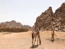 Two beautiful camel resting, grazing in the parking lot, halted with humps on hot yellow sand in the desert in Egypt against the b royalty free stock images