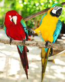 Two beautiful carribean maccaws on exotic beach at Saona island Stock Photos