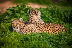 Two Beautiful Cheetahs Resting and Sunbathing Stock Images