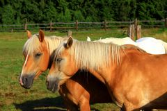 Two beautiful chestnut hafling horses portrait on green pasture stock photos