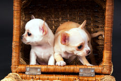 Two beautiful Chihuahua puppys play to cart Royalty Free Stock Photography