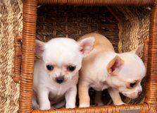 Two beautiful Chihuahua puppys play to cart Royalty Free Stock Images