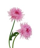Two beautiful chrysanthemum Royalty Free Stock Image