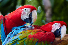 Two beautiful colorful parrots cleaning each other. Two beautiful colorful parrots cleaning and helping each other royalty free stock photo