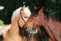 Lovely cuddling horses. Two beautiful cuddling horses in the autumn forest stock photography