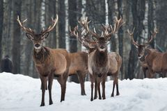 Two Beautiful Curious Trophy Deer Stag Close-Up, Surrounded By Herd. Winter Christmas Wildlife Landscape With Deer Cervus Elaphus royalty free stock photography