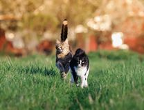 Two beautiful  cute cats are fun and fast to run a race through. Two beautiful funny cute cats are fun and fast to run a race through the summer Sunny meadow Royalty Free Stock Images