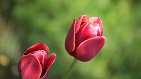 Two beautiful dark red flowers. Two dark beautiful flowers swing against a background of green grass stock video