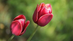 Two beautiful dark red flowers. Two dark beautiful flowers swing against a background of green grass stock footage