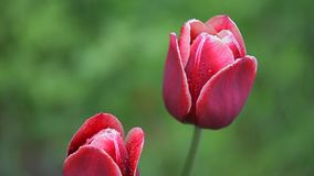 Two beautiful dark red flowers stock video footage