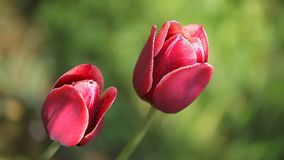 Two beautiful dark red flowers stock footage