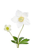 Two beautiful delicate flowers Stock Images