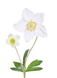 Two beautiful delicate flowers Royalty Free Stock Image