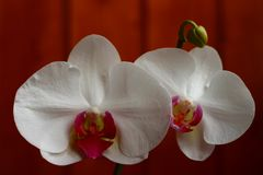 Two beautiful delicate white orchids stock images