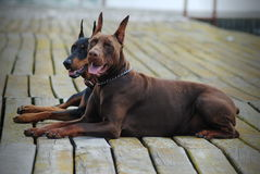 Two beautiful dogs. Brown and black doberman on the old dock royalty free stock image