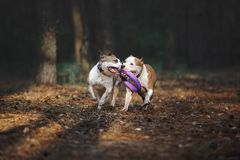 Two beautiful dogs play together and carry the toy to the owner. Aport performed by the American Staffordshire Terriers. Dogs run in the forest on a dark stock image