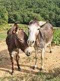 Two beautiful donkey friends, close together Stock Photography
