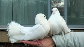Two beautiful dove sitting on a man's hand. Two beautiful white dove sitting on a man's hand stock video