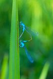 Two beautiful dragonfly. Two dragonflies, who love each other Stock Photography