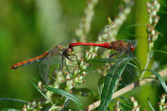 Two beautiful dragonfly Stock Photo