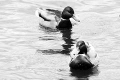 Two beautiful ducks swim in the pond. Outdoors Stock Images