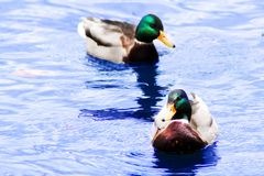 Two beautiful ducks swim in the pond. Outdoors Royalty Free Stock Photo