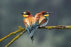 Two Beautiful European Bee-eaters Merops Apiaster Stock Photography