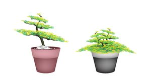 Two Beautiful Fir Tree in Flower Pots Stock Photo