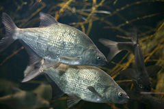 Two beautiful fishes Royalty Free Stock Photos