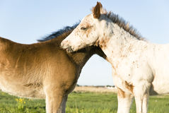 Two beautiful foals Royalty Free Stock Photos