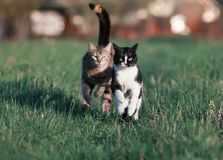 Two beautiful funny cute cats are fun and fast to run a race thr. Ough the summer meadow Royalty Free Stock Images