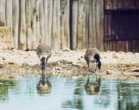 Two beautiful geese with reflection in water Stock Photo