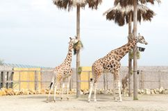 Two beautiful giraffe female and male are standing nearby stock images