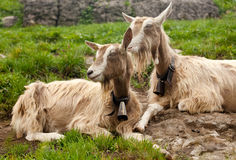 Two beautiful goats in swiss countryside. Two adorable goats in swiss countryside Royalty Free Stock Photography