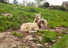 Two beautiful goats in swiss countryside Royalty Free Stock Photography