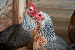 Two beautiful Golden Duckwing rooster hens. Macro shots of chicken profile. stock photo