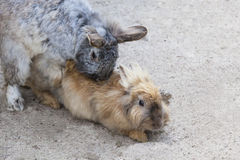 Two beautiful gray copulating a rabbit Stock Images