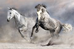 Horse herd in motion. Two beautiful grey horse with long mane in motion in desert dust Stock Photography